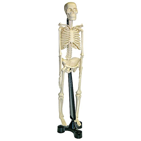 MODELL Anatomie menschliches Skelett 45cm zerlegbar lernen kunststoff Mensch