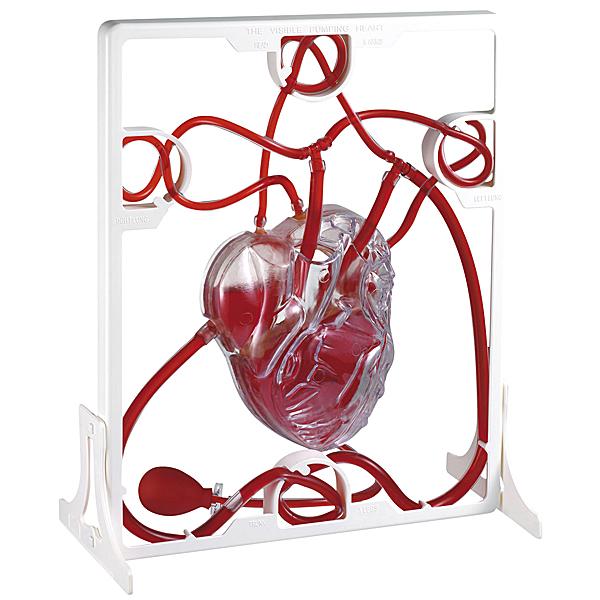 MODELL Herzmodell menschliches Herz Blut fließt Blutkreislauf Aorta Kreislauf