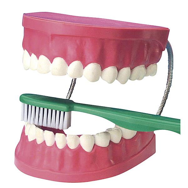 MODELL Zahnpflegemodell Zähne Milchzähne putzen Kindern Zahnputztechnik erklären