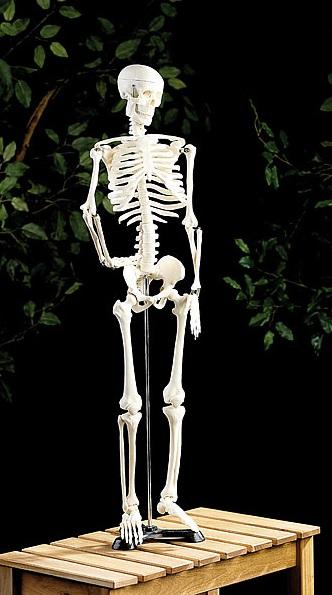 PROFI Anatomie Modell Skelett Schädel Körper Beweglich Knochen Mensch komplett